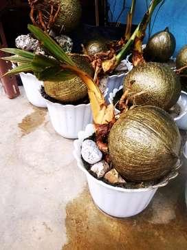 Bonsai kelapa warna emas bagus minat wa harga variasi