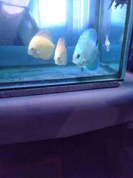 Jual ikan discus 3 ekor