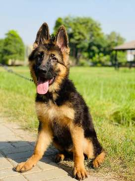 German sheperd Femail Puppy for sale