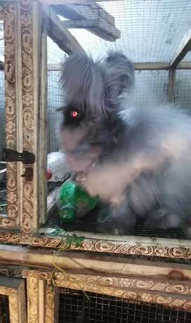 English Angora breeder Pair Rabbits