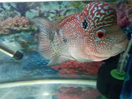 Imported flowerhorn fish sale fully head pearling