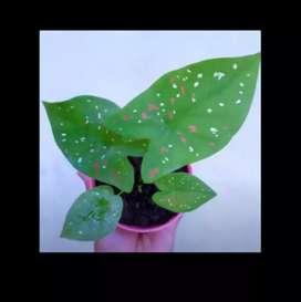 Tanaman Hias Caladium Tricolor