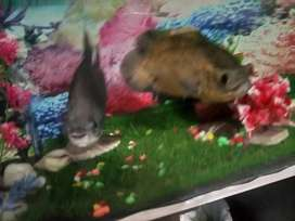 Sale or exchange big size 13 inch big size lcd paco fish