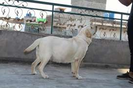 Labra dog Labrador female for sale urgent