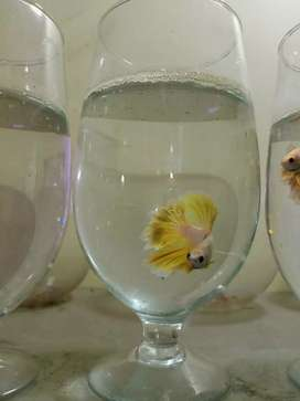 Betta Fish For Sell