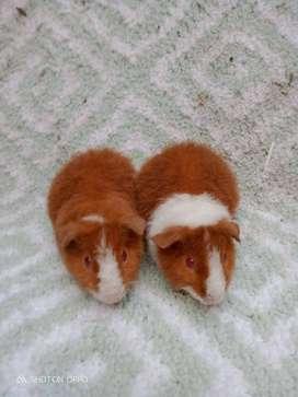 Marmut Hias Teddy / Teddy Cavy /Teddy Guinea Pigs