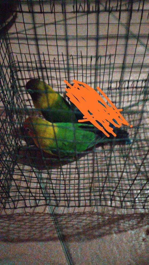 Love bird sehat jasmani 0