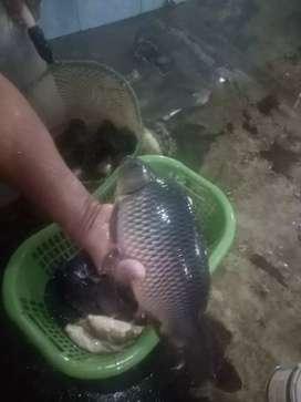 jual ikan mas kosumsi