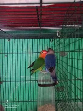 Lovebird vio x green trah biola DNA