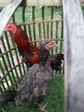 Jual sepasang ayam bangkok,,harga 600 nego