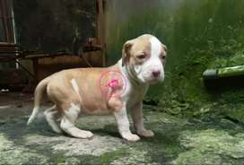 Anjing Pitbull BigSize