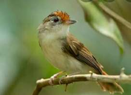 Burung Asi Topi Sisik Satu Pasang