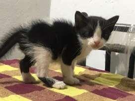40days old kitten