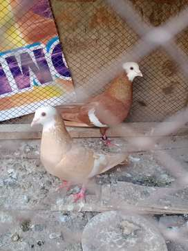 Lal jogi pair for sale