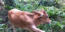 Di jual 2 ekor sapi kondisi sehat, 1 ekor anak dan 1 ekor induk