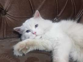 Persian Cat pure white breed ( tripple coat and punch face)
