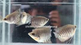 Bibit ikan unggul konsumsi #227