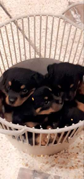 pure rottweiler pups age 45 days per pup 50000
