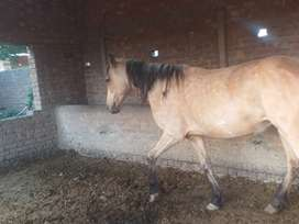 Female horse for sale