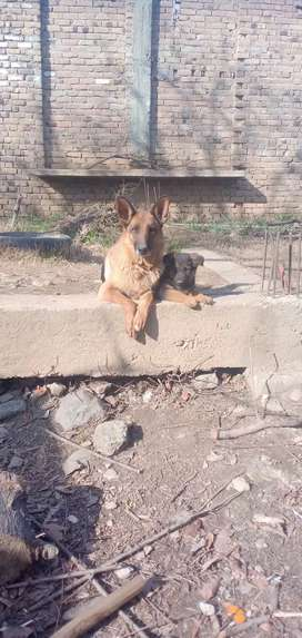 Gsd female medium coat with their own male  with Gsd long female