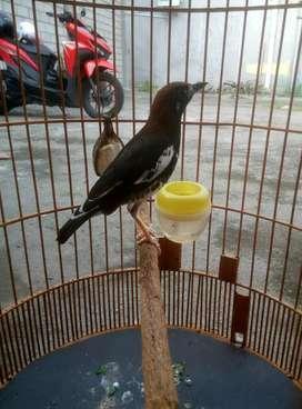 jual burung anis kembang
