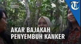 Bajakah Kalalawit Kalimantan