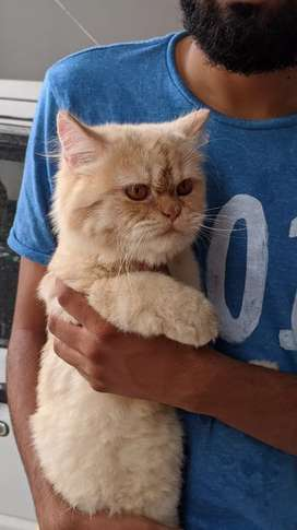 Puched face male cat for sale..