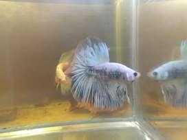 Ikan cupang HM fancy