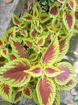 Colous plant