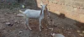 For sale Goat Female Rajen poore Pure First breed
