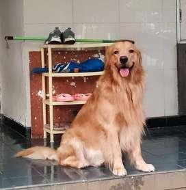 Anjing Pejantan Golden Retriever Siap Pacak Open Stud