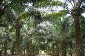 Di jual perkebunan kelapa sawit/