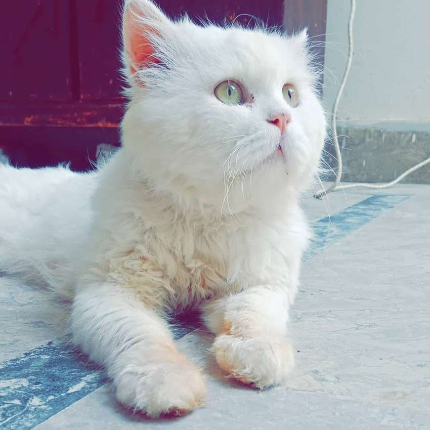 Persian triple coted male 0