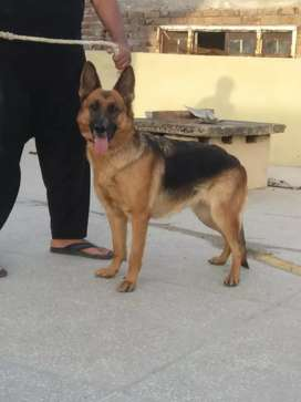 pure gsd female for sale