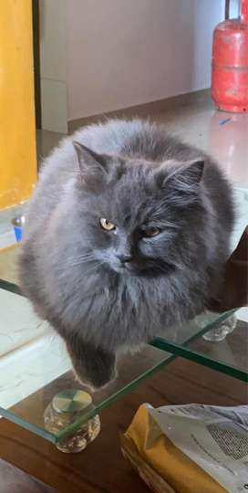 Persian 6 months old male cat available for 12000/- negotiable