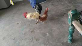 Hen for sale