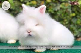 4.5 months old Red Eye White Lionhead Dwarf Rabbit Male available!!