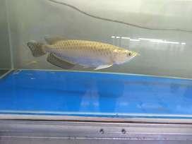 Ikan Arwana batik mulus