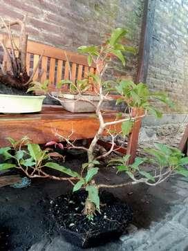 Bonsai Tanaman bunut (pucuk merah)