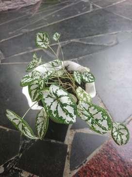 tanaman hias mini cantik