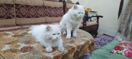 Persian cats available (Male+female)