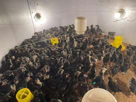 Australorp 1 Month Old Chicks Availble For sale