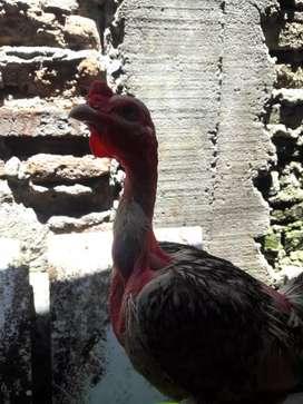 Ayam saigon ules batik