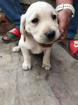 Labrador outstanding quality puppy for sale