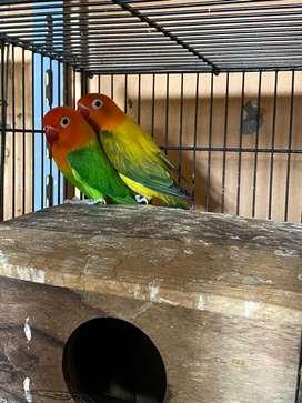 Lovebird bio euwing x bio