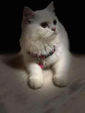 Persian Cat - 5 months