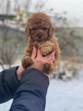 Miniature poodle puppies available for new homes
