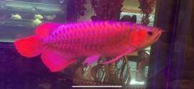 Super Red arwana XL 60 cm special masih ori