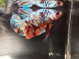 Ikan cupang giant coper gold
