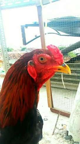 Ayam bangkok joos